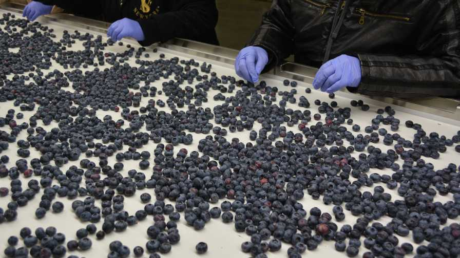 blueberry packing line