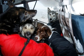 Dropped dogs rest comfortably inside Dave Looney's airplane after a ride from Kaltag to Unalakleet on Monday morning during Iditarod 2011