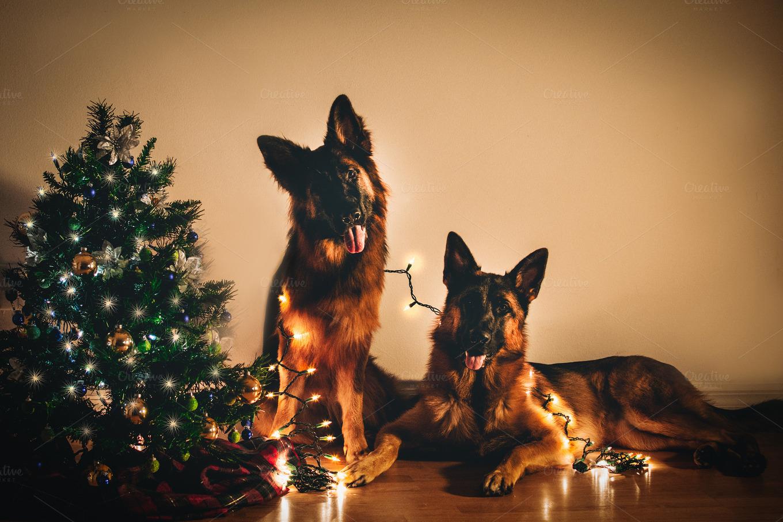 Christmas German Shepherd Dogs Animal Photos On Creative