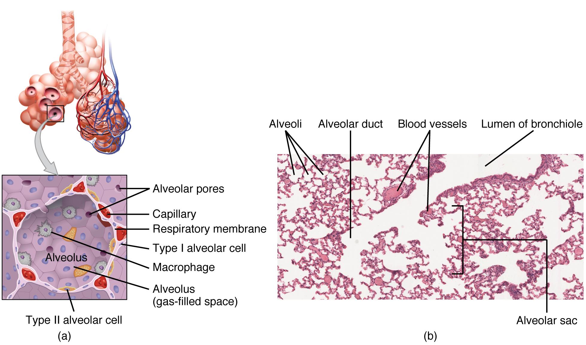 Atemwege Histologie Von Trachea Und Lunge
