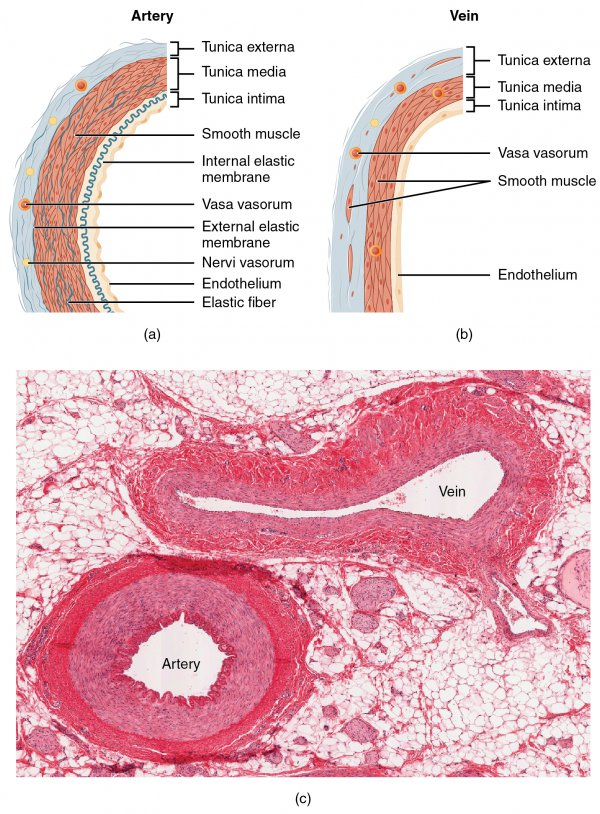 Heart 3 Layers Muscle