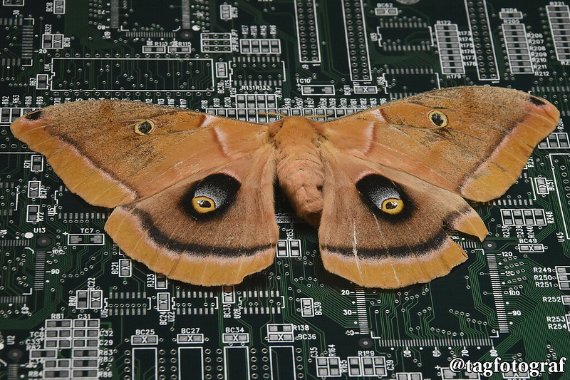 Moth on Circuit Board