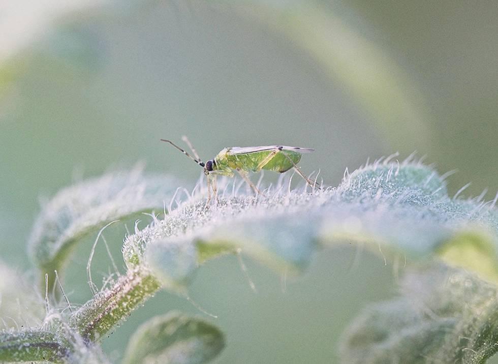 Insecto nesidiocoris tenuis, un depredador de plagas en una planta de tomate.
