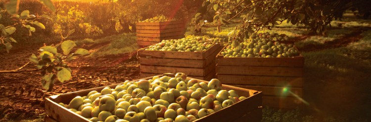 Image of an apple orchard in Ireland during autumn harvest time.