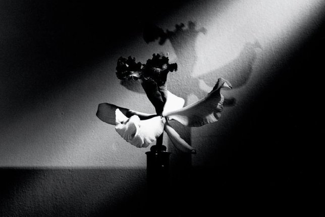 orchid 1988 black and white mapplethorpe