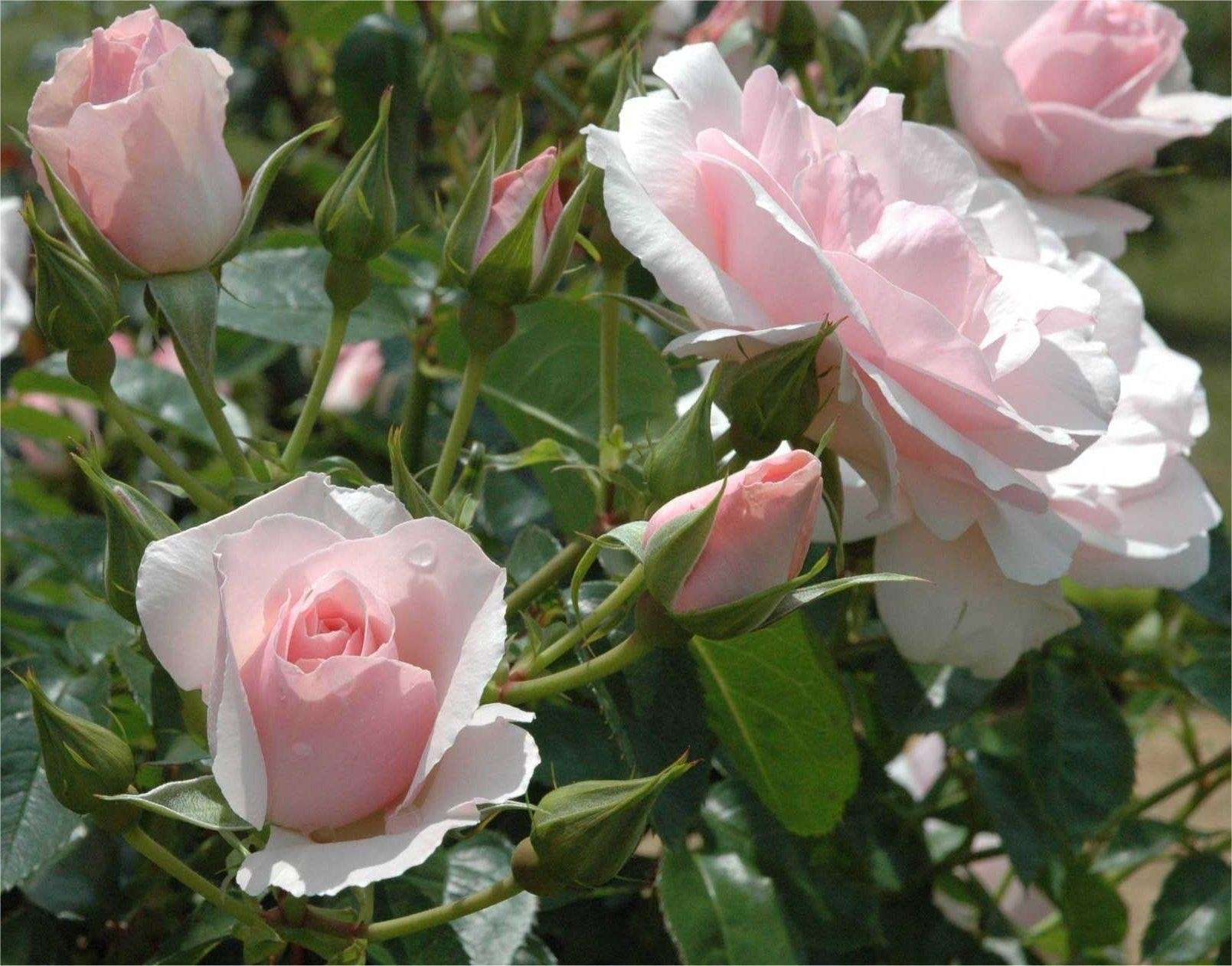 Hybrid Tea Rose Bush Slubne Suknie Info