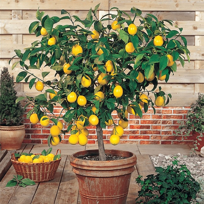 large 80 100cms citrus tree lemon perfect in gin