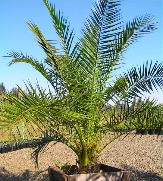 xxl giant phoenix canariensis canary island date palm large 6 7ft patio palm trees 170 200cms