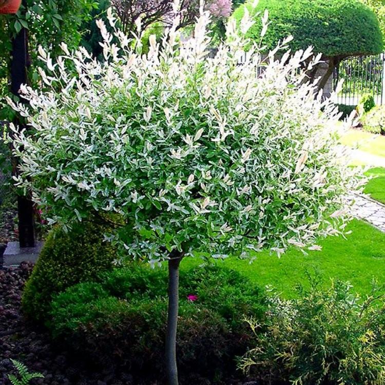 salix integra hakuro nishiki patio tree dappled willow