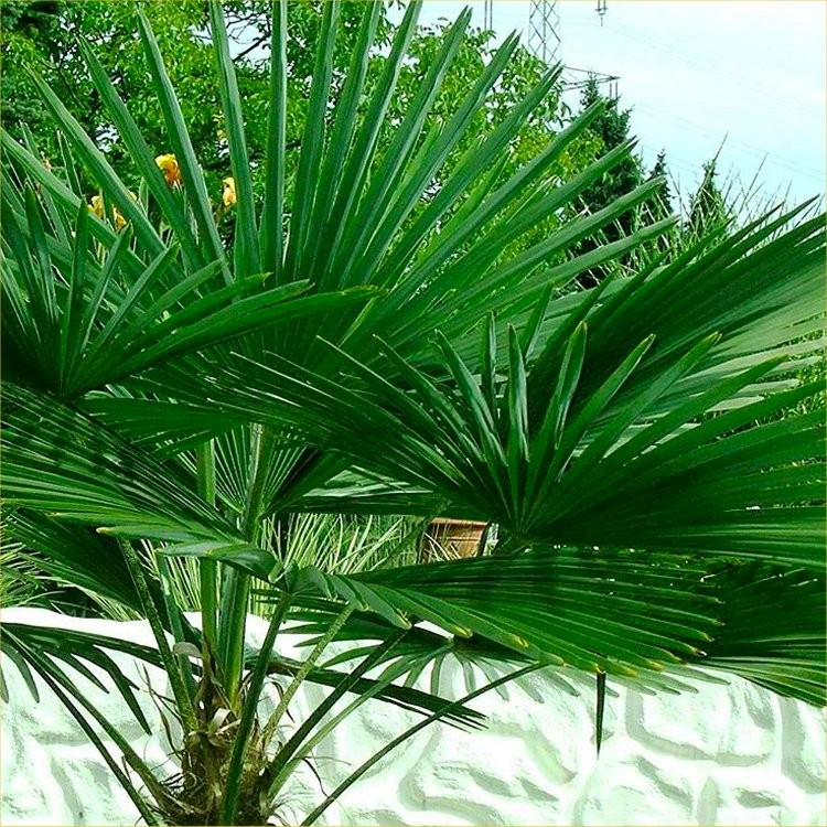 PAIR Of Large Trachycarpus Fortunei Giant Windmill Fan