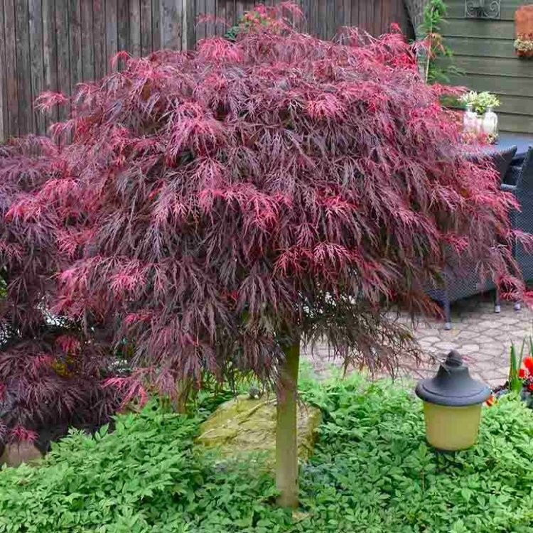 Large 100cm Filigree Weeping Purple Acer Japanese Maple Tree Garnet