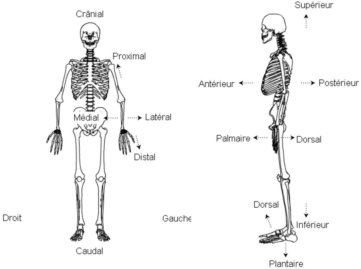 Plans Et Mouvements Utilises En Anatomie Macroscopique