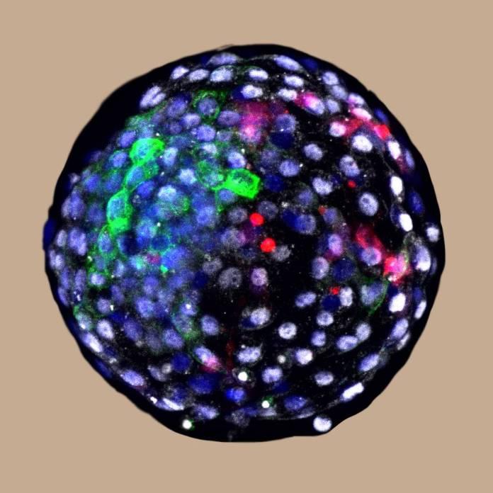 Blastocisto de quimera