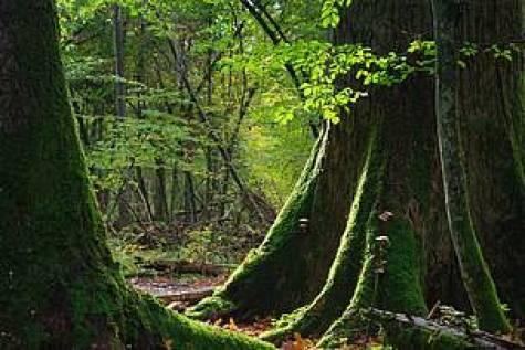 Bialowieza bosque Polonia Patrimonio Mundial tala