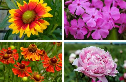 Summer Blooming Perennials Flowers Plants Gardening Blooming Secrets