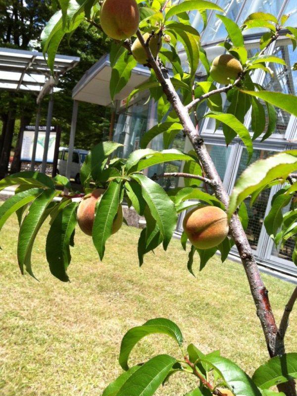フルーツ公園内の木々には果物がいっぱい