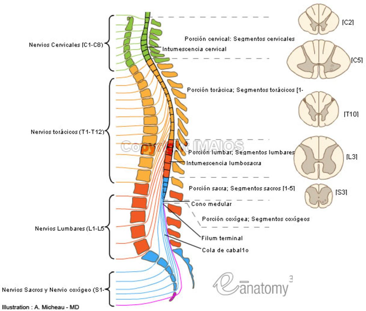 1 Medula Espinal