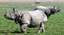 Rhinoceroses At Kaziranga National Park