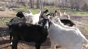 My little herd of goats.
