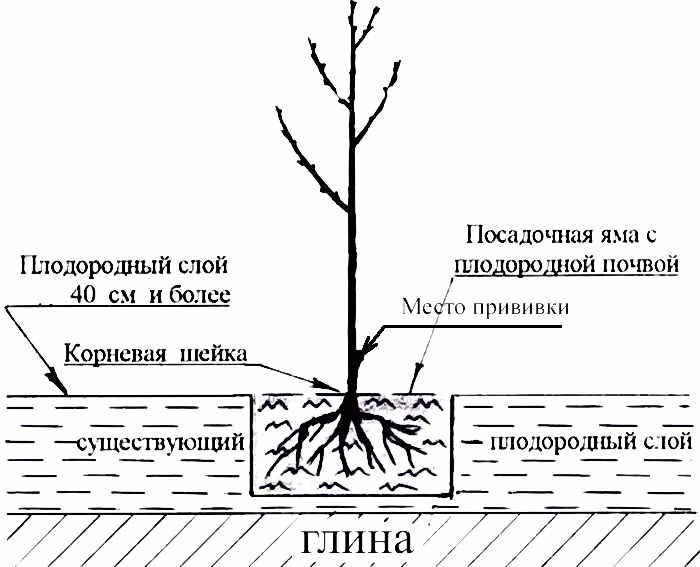 Как размножить вишню черенками летом зелеными будет ли плодоносить без поросли