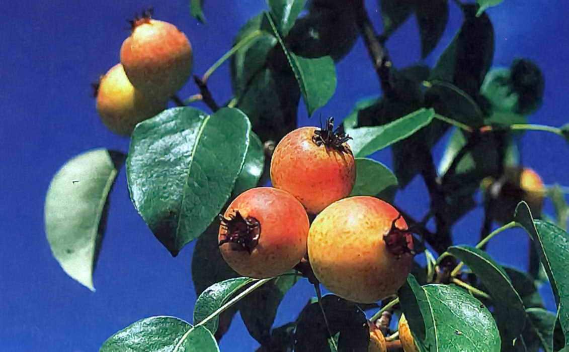 Прививка черноплодной рябины. Какие деревья можно привить на рябину? Прививка в расщеп