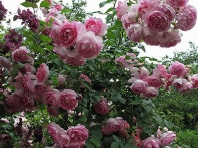 Роза жасмина описание плетистого сорта правила ухода в домашних условиях