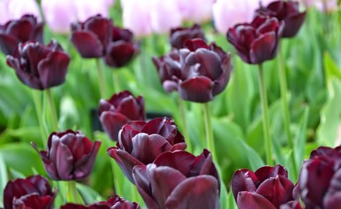 Тюльпан черный принц
