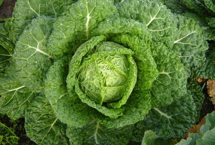 Особенности выращивания савойской капусты. Савойская капуста: выращивание и правила ухода