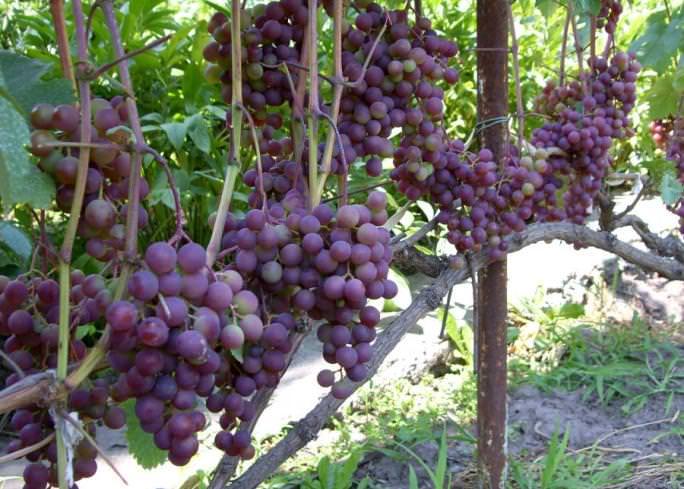 Виноград русский ранний описание достоинств и недостатков сорта
