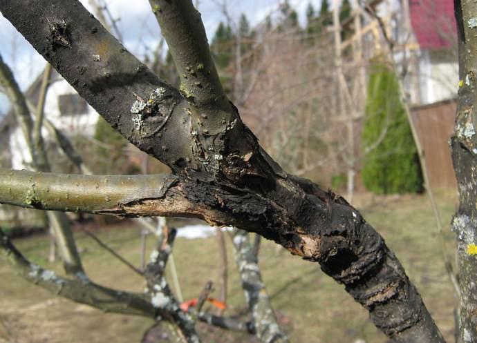 Почему трескаются плоды груши и что с этим делать. Северный дачник