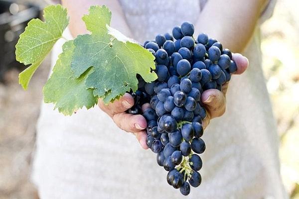 Что можно посадить после винограда. Соседство винограда с другими культурами, что можно посадить