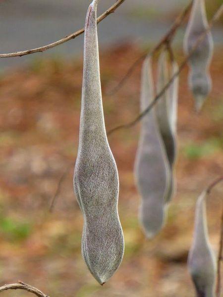 Как вырастить глицинию и ухаживать за ней в открытом грунте. Глициния, посадка и уход