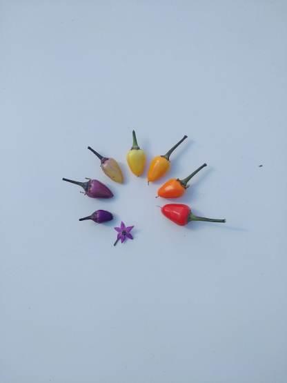 Regenbogen aus den Chilischoten der Lila Luzi Chili