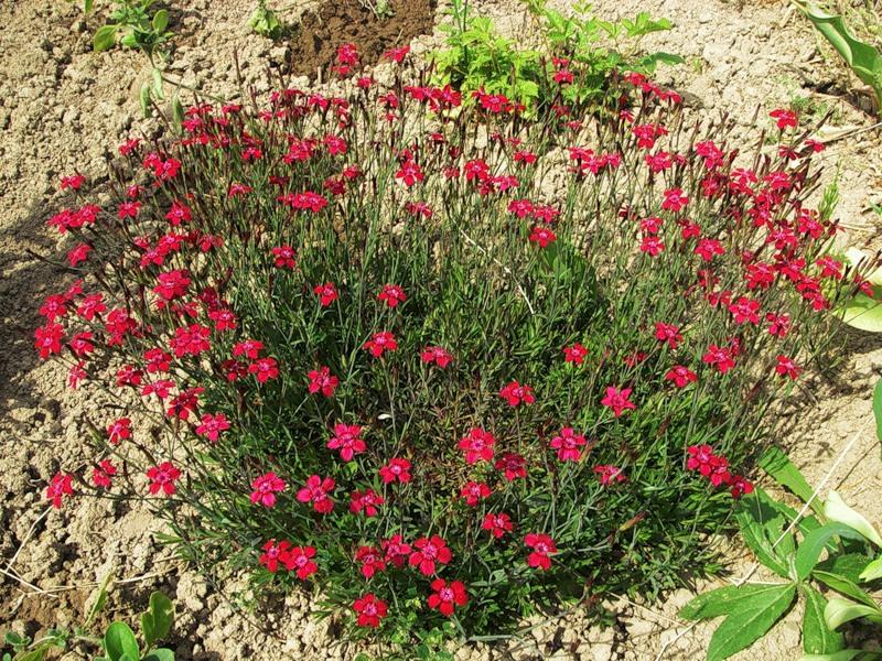 Особенности выращивания ремонтантной гвоздики, как вырастить гвоздику Шабо из семян