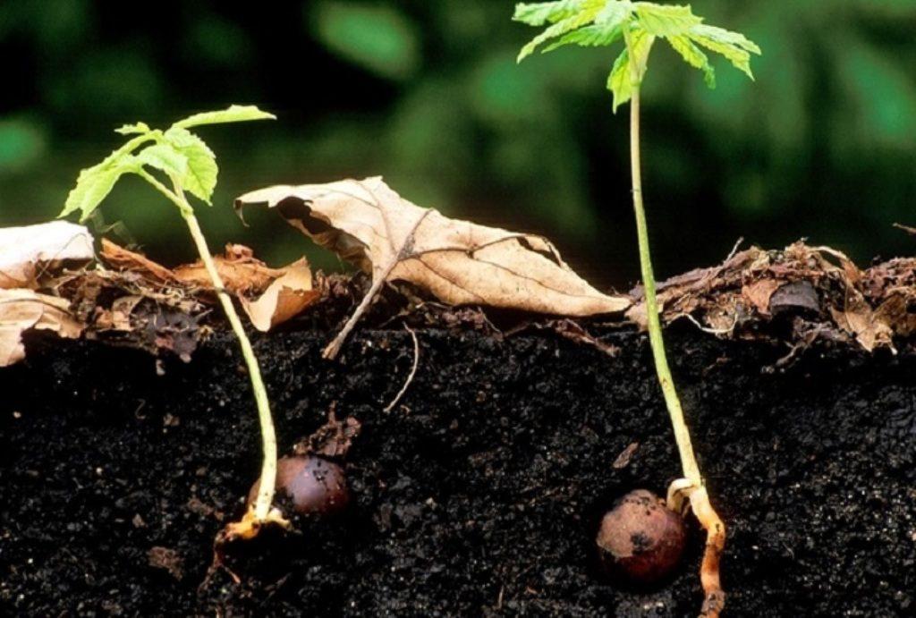 Gesztenye Konsky gyümölcs a prosztatitisből