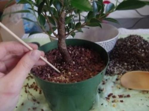 Почему у фикуса желтеют и опадают листья. Основные причины пожелтения листьев 13