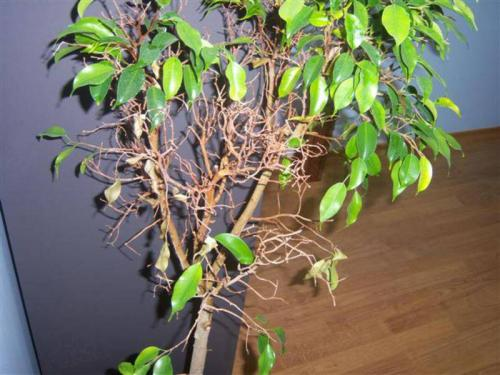 Почему у фикуса желтеют и опадают листья. Основные причины пожелтения листьев 15
