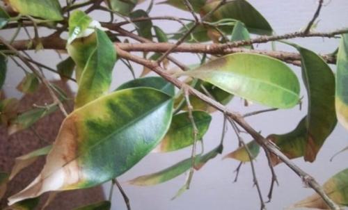 Waarom de Ficus geel en herfstbladeren is. De belangrijkste redenen voor het vergelen van de bladeren 09