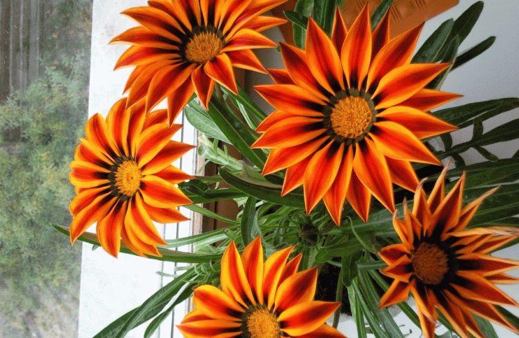 Гацания комнатная. Особенности выращивания газании в саду