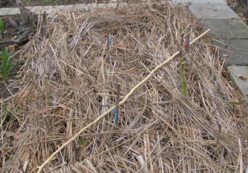 Гибискус садовый гавайская экзотика