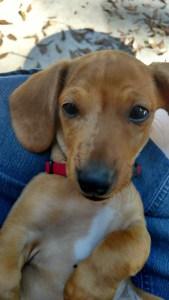 iphone 5c case dachshund