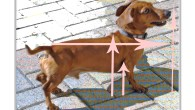 How to Measure your Dachshund - For a Crate. It is very important to measure your Dachshund carefully to ensure you are purchasing the correct size crate. This can be a little confusing – here are step-by step instructions on how to measure your Dachshund for a crate that will comply with airline rules.