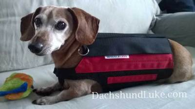 dachshund Luke Wiggleless back brace picture