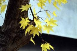 長瀞の黄色い楓