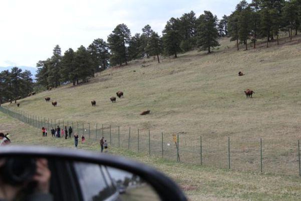 buffalo from the car