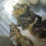 Incubating Duck Eggs - Hatching