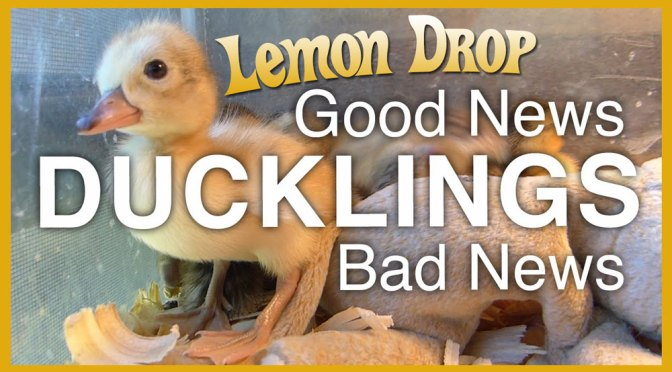 Incubating Duck Eggs: Lemon Drop the Miracle Duck