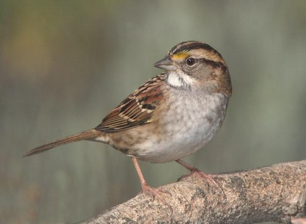 A brown sparrow