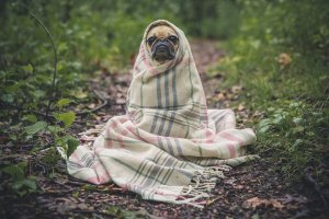 Dog covered in blanket, comforting