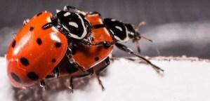 Two ladybirds having sex